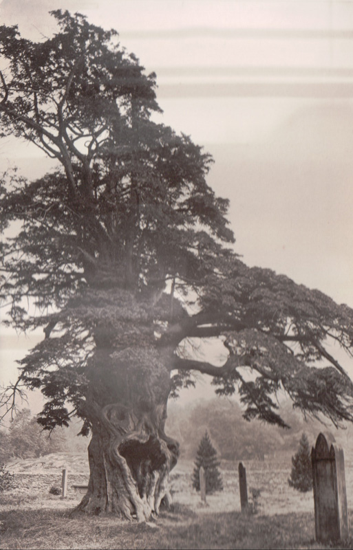 Old Yew in Patterdale